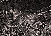 Fawn Photos - Camouflaged Fawn by Brian M Lumley