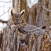 Great Horned Owl Framed Prints - Camouflaged Owl Framed Print by Donna Caplinger