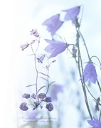 Monika Strigel Acrylic Prints - Campanula Rotundifolia Acrylic Print by Monika Strigel