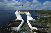 Emoting Framed Prints - Campbell Albatross Thalassarche Framed Print by Tui De Roy