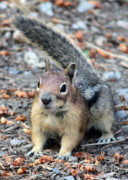 Cute Chipmunk Prints - Campground Chipmunk Print by Carol Groenen