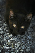 Abandoned Pets Photos - Can I Trust You - Feral Kitten Spitfire by Kathy Clark