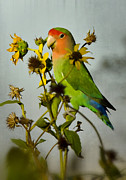 Lovebird Metal Prints - Can You Say Pretty Bird? Metal Print by Saija  Lehtonen