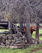 Long Horn Cow Photos - Can You See Me by Kathleen Peltomaa Lewis