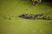 Alligators Photos - Can you see me now by Rich Franco