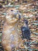 Prairie Dog Framed Prints - Can You Spare A Nut? Framed Print by Bill Tiepelman
