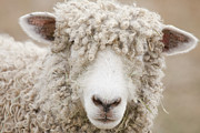 Hair Sheep Photo Prints - Canada, British Columbia, Fort Steele, Close-up Of A Sheep Print by Don Paulson Photography