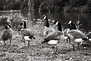 Canada Photo Framed Prints - Canada geese Framed Print by Blink Images