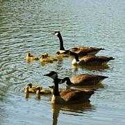 Canada Geese Families Print by Mark Codington
