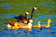 Wild Animal Digital Art Posters - Canada geese family Poster by Mingqi Ge