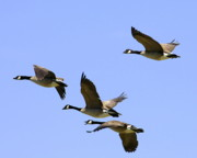 Migrating Birds Originals - Canada Geese Formation by Tom Cheatham