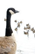 Goose Posters - CANADA GEESE goose with wetlands birds and waterfowl Poster by Andy Smy
