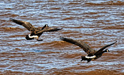 Geese Posters - Canada Geese In Flight Lake Superior Poster by Lawrence Christopher