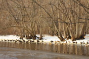 Canada Geese On Concord River Print by John Burk