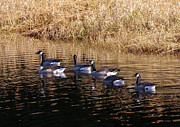 Goose In Water Posters - Canada Geese Poster by Sharon  Talson
