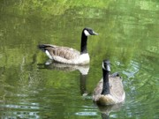 Canada Goose Posters - Canada Goose Duo Poster by Al Powell Photography USA