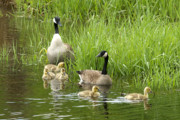 Goslings Framed Prints - Canada Goose Family 1 Framed Print by Sharon  Talson