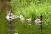 Wild Geese Posters - Canada Goose Family 2 Poster by Sharon  Talson
