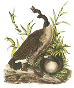 Canada Paintings - Canada Goose by John James Audubon