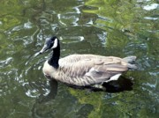 Canada Goose Posters - Canada Goose Pose Poster by Al Powell Photography USA