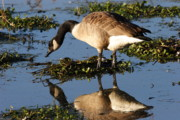 Goose In Water Posters - Canada Goose Reflections Poster by Morgan Hill