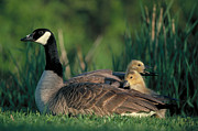 Canadian Goose Prints - Canada Goose with goslings Print by Alan and Sandy Carey and Photo Researchers