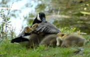 Birds Of Wells Mills Prints Posters - Canada Goose With Goslings Poster by Joyce StJames
