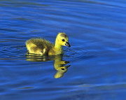 Canada Goose Art - Canada Gosling Goes for A Swim by Tony Beck
