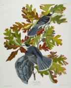 Pair Drawings Prints - Canada Jay Print by John James Audubon