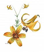 Floral Watercolor Painting Originals - Canada Lily by Betsy Gray