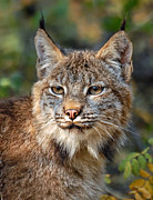 Lynx Photos - Canada Lynx 1 by Wade Aiken