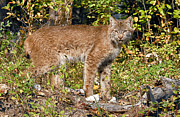Lynx Photos - Canada Lynx 2 by Wade Aiken