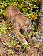 Lynx Photos - Canada Lynx 3 by Wade Aiken