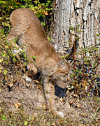 Lynx Photos - Canada Lynx 4 by Wade Aiken