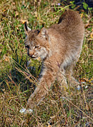 Lynx Photos - Canada Lynx 5 by Wade Aiken