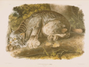 Lithograph Framed Prints - Canada Lynx Framed Print by John James Audubon