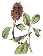 Warbler Paintings - Canada Warbler by John James Audubon