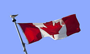Flag Pole Posters - Canadian flag Poster by Blink Images
