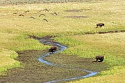 Bison Art - Canadian Geese And Bison, Yellowstone by Brian Bruner