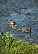 Goslings Framed Prints - Canadian Geese and Goslings Framed Print by John Greim