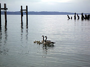 Commencement Bay Prints - Canadian Geese Family Print by Edward Coumou