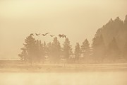 Goose In Water Posters - Canadian Geese Fly In Fog Over The Yellowstone River At Sunrise Poster by Design Pics / David Ponton