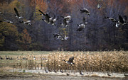 Photos Of Autumn Prints - Canadian Geese in Flight Print by Craig Lovell