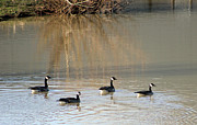 Canadian Prints - Canadian Geese on Pond Print by Geary Barr