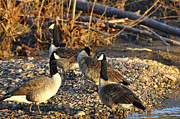 Canadian Prints - Canadian Geese Print by Todd Hostetter
