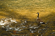 Rill Framed Prints - Canadian Goose in Golden Sunlight 2 Framed Print by Douglas Barnett