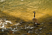 Rill Posters - Canadian Goose In Golden Sunlight Poster by Douglas Barnett
