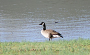 Canadian Prints - Canadian Goose on Bank Print by Geary Barr