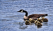 Canadian Prints - Canadian Goose with babies Print by Joe Granita