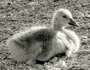 Janeen Wassink Searles Framed Prints - Canadian Gosling Framed Print by Janeen Wassink Searles